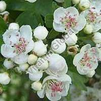 Сухие цветы боярышника 50 гр - Herba Center